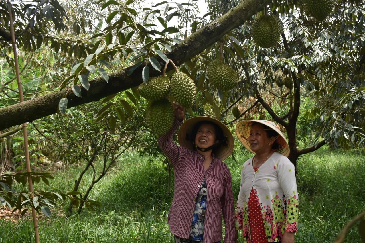 Bà Cao Thị Chiên người không ngừng xây dựng và phát triển tổ hợp tác trồng sầu riêng ấp Hàm Luông
